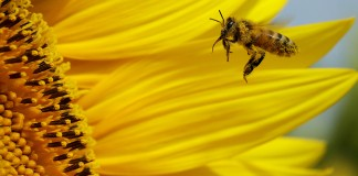 A bee gathers pollen in a sunflower field