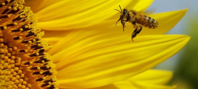 Una abeja recoge polen en un campo de girasoles