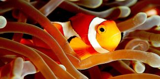 Clownfish in coral (Wikimedia Commons)