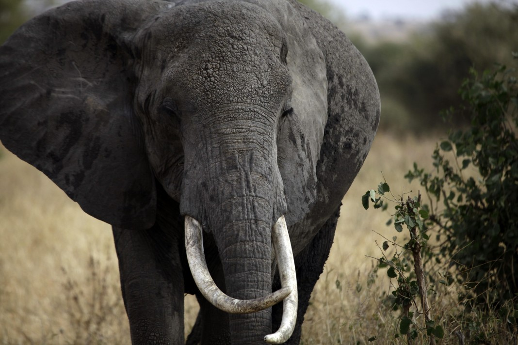 Elephants killed to feed illegal ivory trade