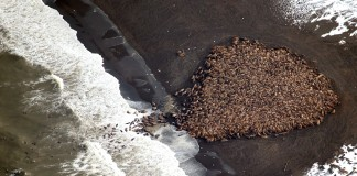 Pacific walruses affected by Arctic climate change (AP Images)