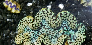 Giant clam (AP Images)
