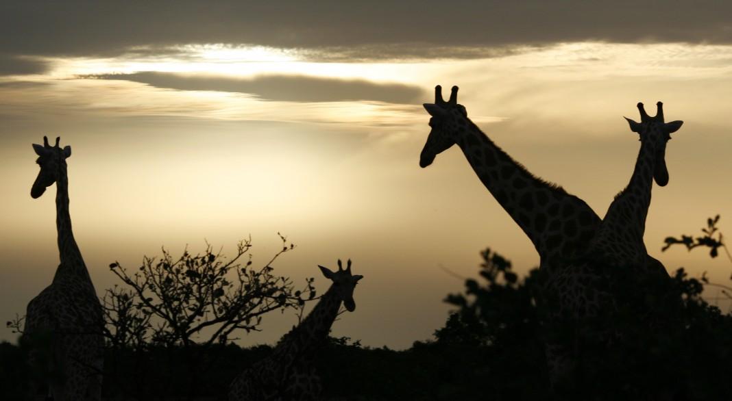 Un groupe de girafes en silhouette contre le soleil couchant (© AP Images)
