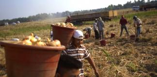 کارگران مهاجر سبدهای پیاز را در یک کشتزار جا به جا می کنند (عکس از آسوشیتدپرس)