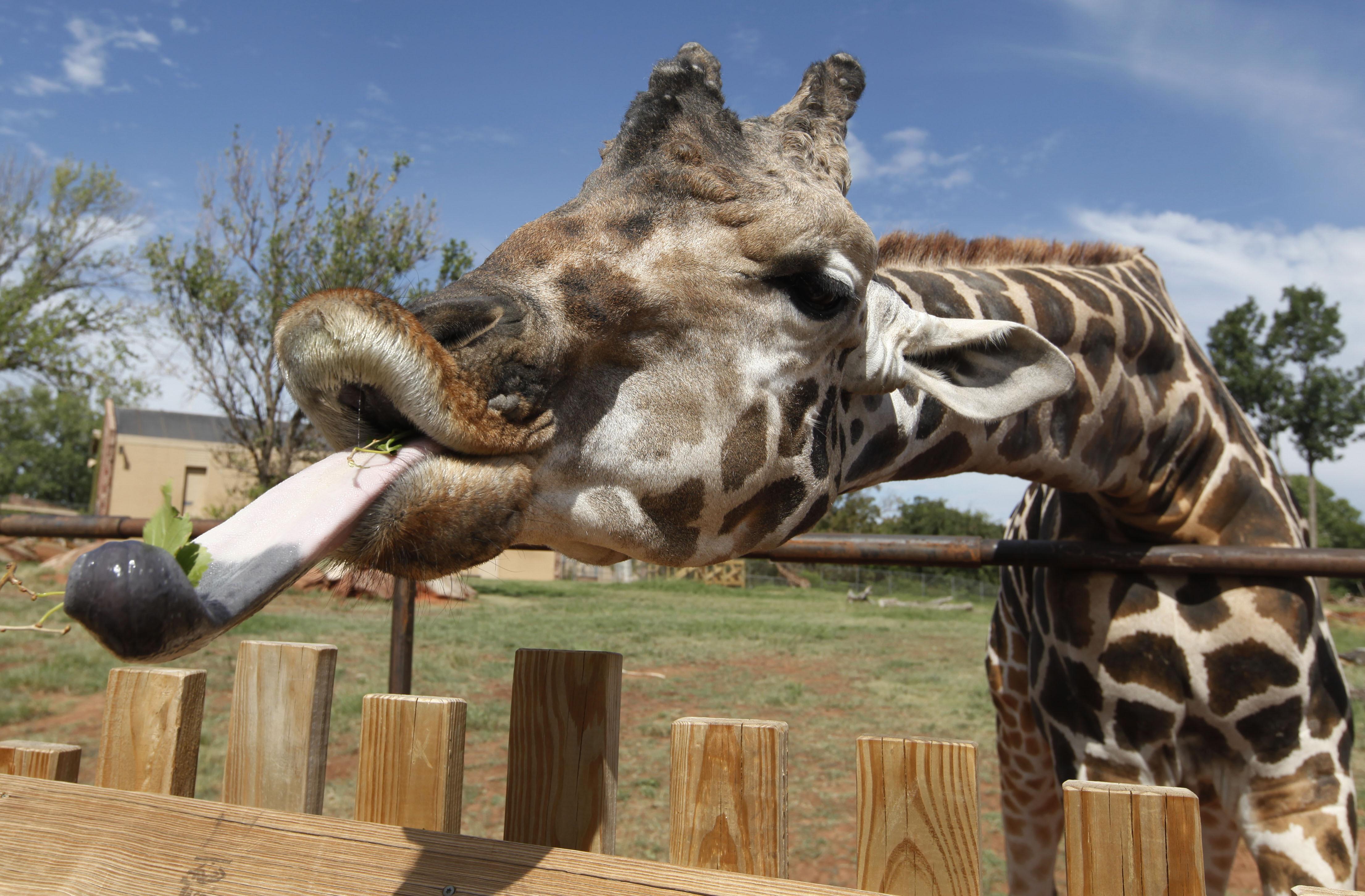 Une girafe derrière une clôture, tirant la langue (© AP Images)