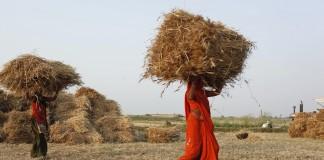 Des agricultrices portant des bottes de blé (© AP Images)