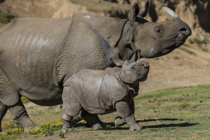 Bebé rinoceronte con rinoceronte adulto