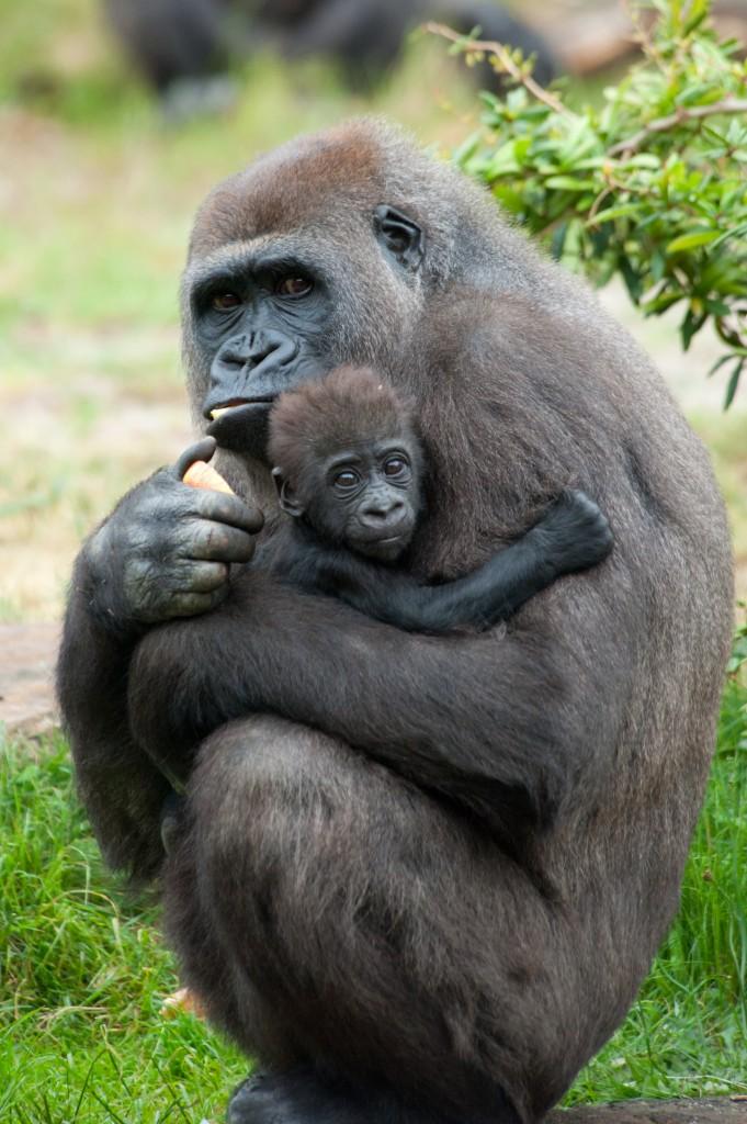 یک گوریل و بچه اش (Eric Gevaert/Shutterstock.com)