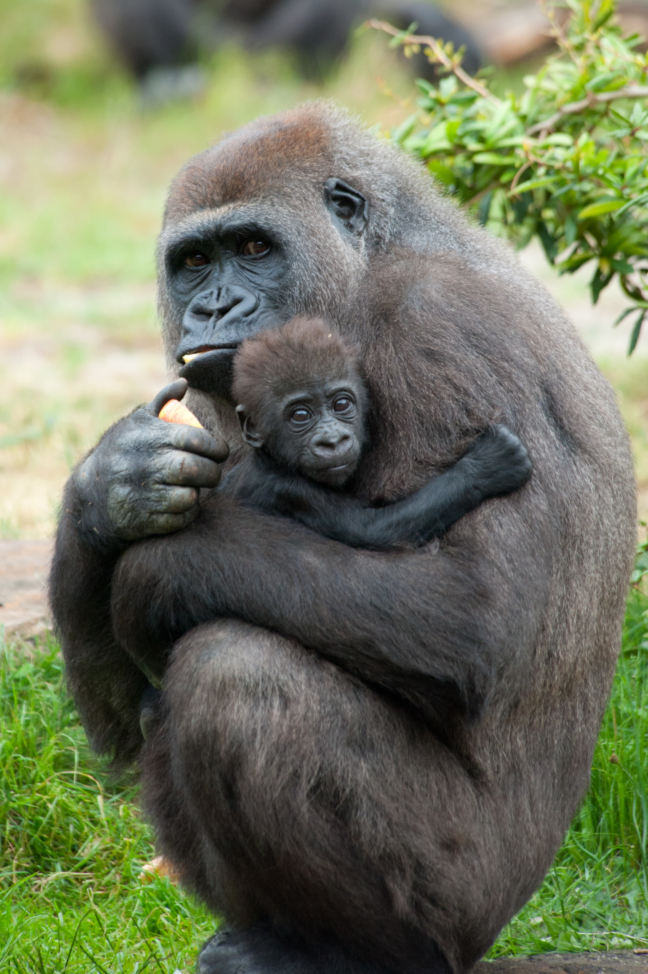 top 10 ways to save wildlife shareamerica gorilla and baby eric gevaert shutterstock com