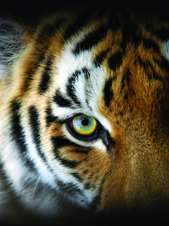Face of Sumatran tiger (© Wiklander/Shutterstock)