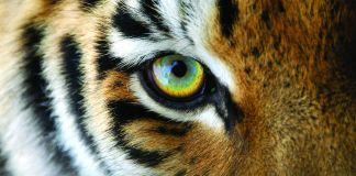 Face of Sumatran tiger (Wiklander/Shutterstock.com)