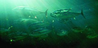 School of Atlantic bluefin tuna (NOAA)