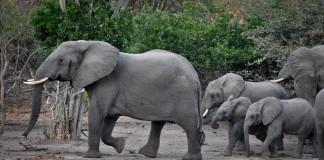 一群大象 (Skip Russell)