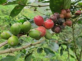 Granos de café (© AP Images)