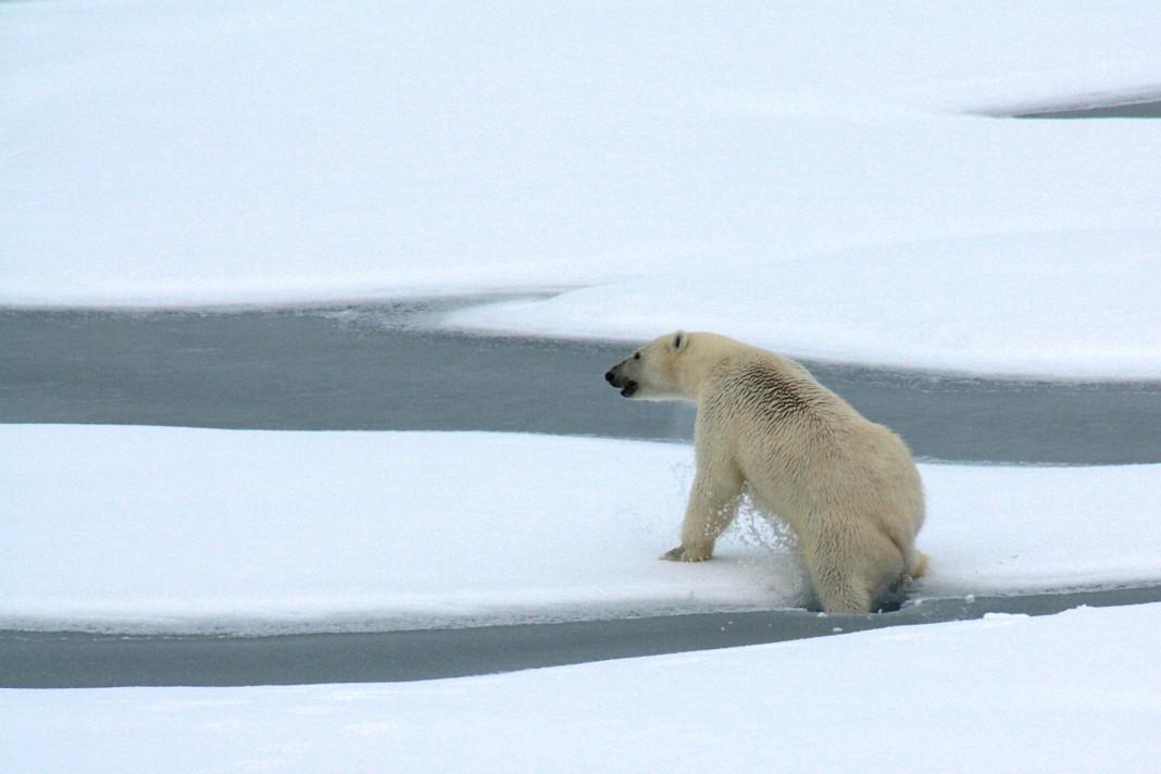 北极熊一只脚踩破冰层(美国地质调查局)