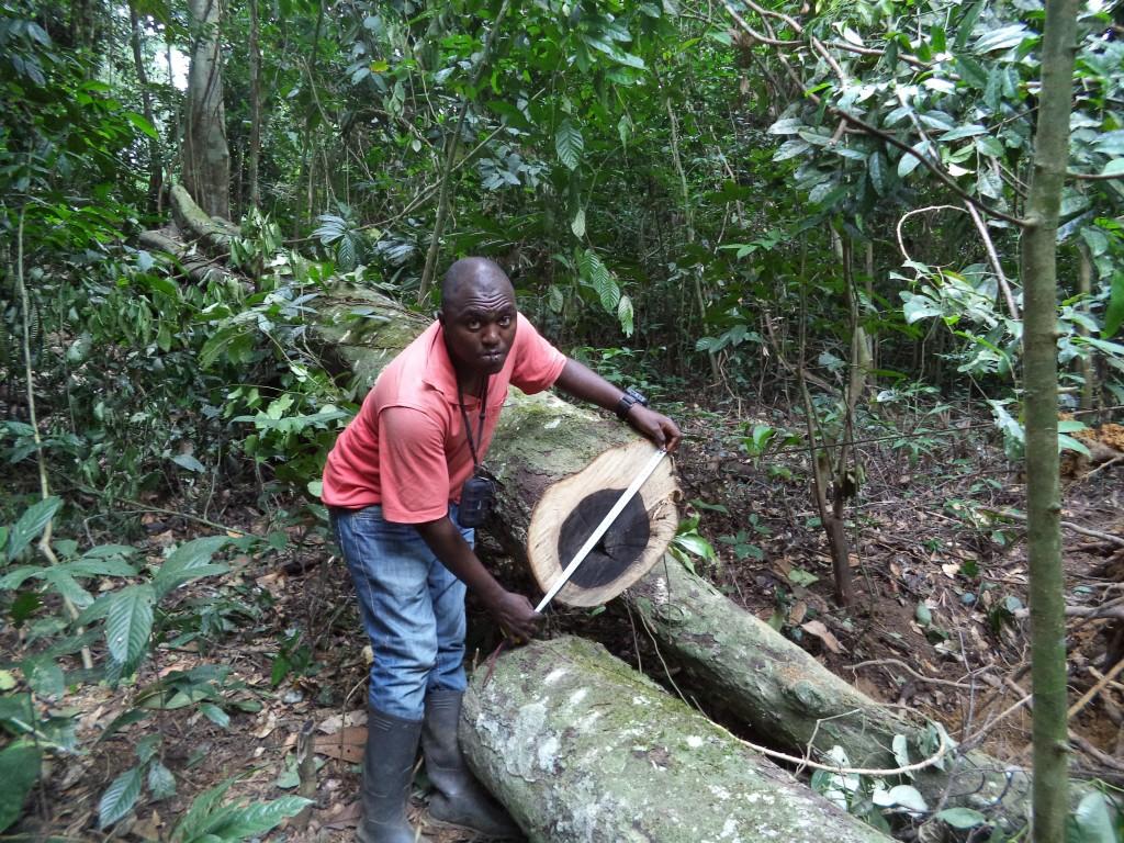 Hombre en la jungla midiendo el diámetro de un árbol caído. (Foto cedida por Taylor Guitars)