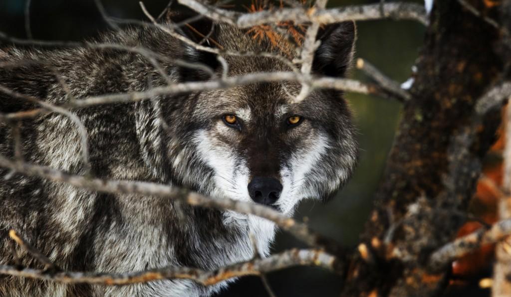 Gros plan sur un loup (Jeremy Weber/Flickr)