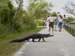 alligator crossing road, tourists in background