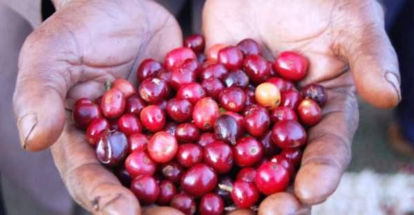 Main tenant des petits fruits rouges (USAID)