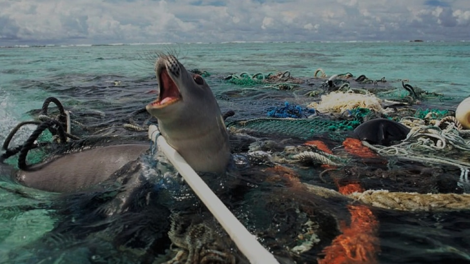 Seal caught in ocean debris (Courtesy of Nels Israelson/Flickr)