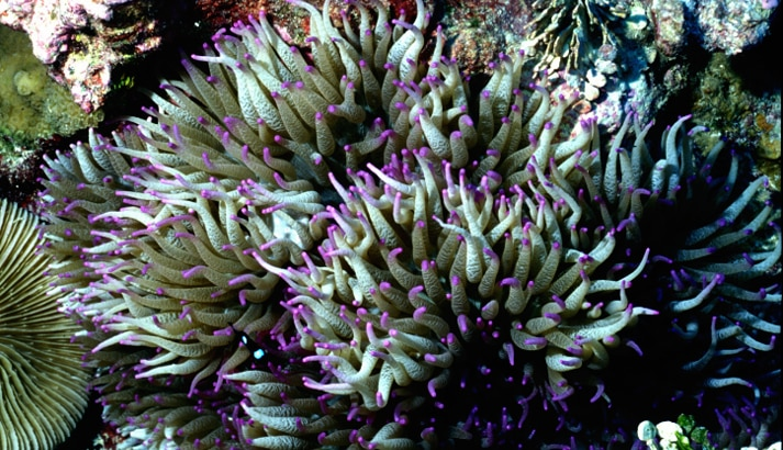 Underwater photo of clump of purple and turquoise sea anemone (USFWS)