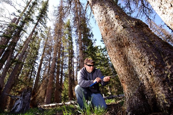 Une personne en train de percer un tronc d'arbre. (University of Wyoming)