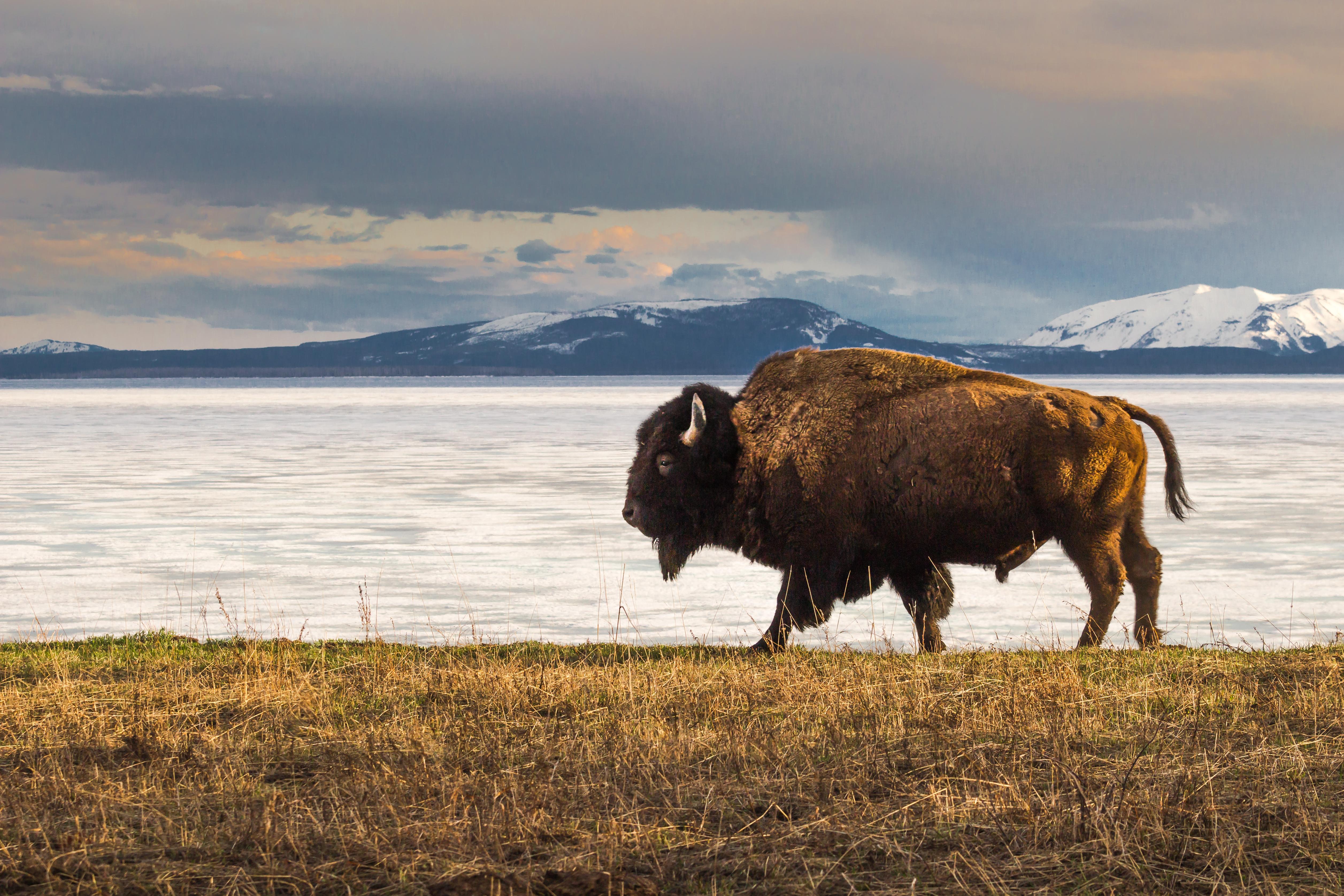 Bisonte al borde del lago Yellowstone; a lo lejos, las montañas (J. Moore, NPF Share the Experience 2014)