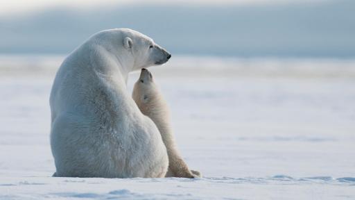 Osa polar madre y osezno (C. Teller, NPF Share the Experience 2014)