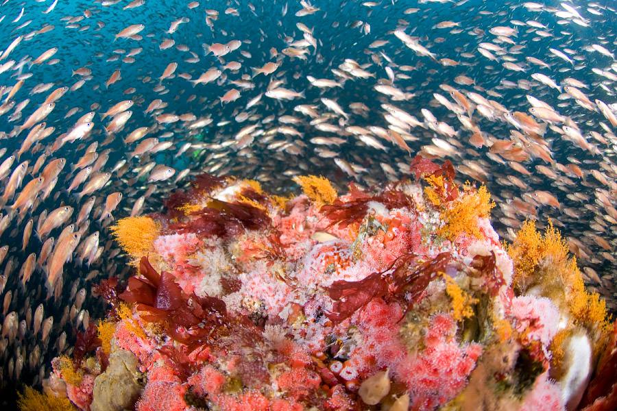 Des anémones de mer et un banc de poissons (NOAA/Joe Hoyt)