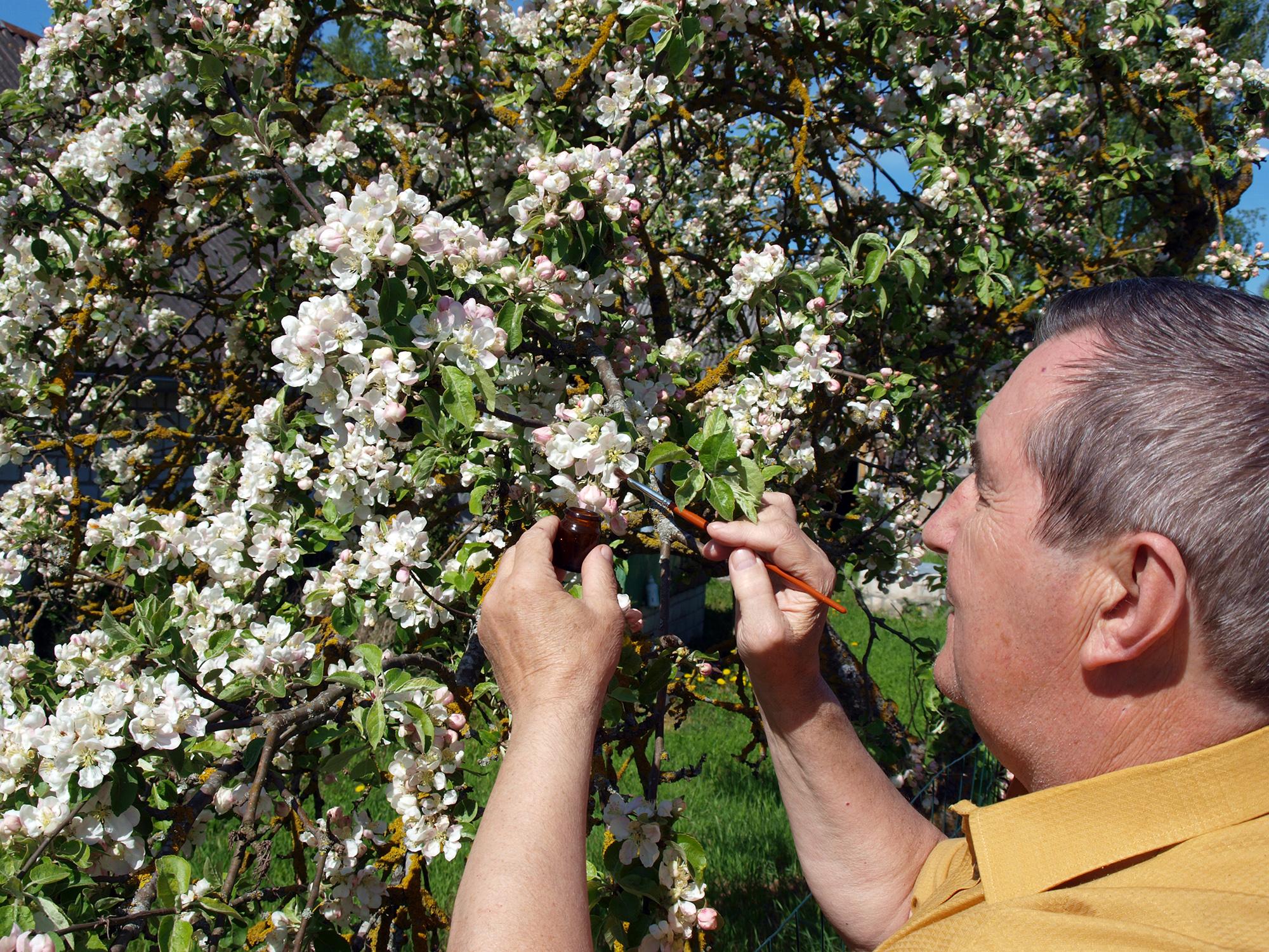 یک تولیدکننده میوه شکوفه های روی درخت را بررسی می کند (گراندپا/شاتراستاک)