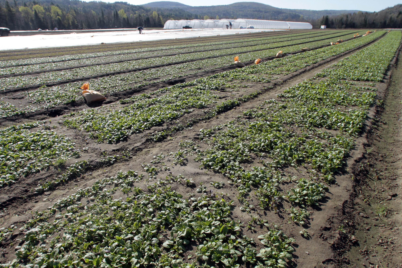 مزرعه ای در شهر کرافتسبرگ ایالت ورمونت که از طریق برنامه CSA اداره می شود. (عکس از آسوشیتدپرس)