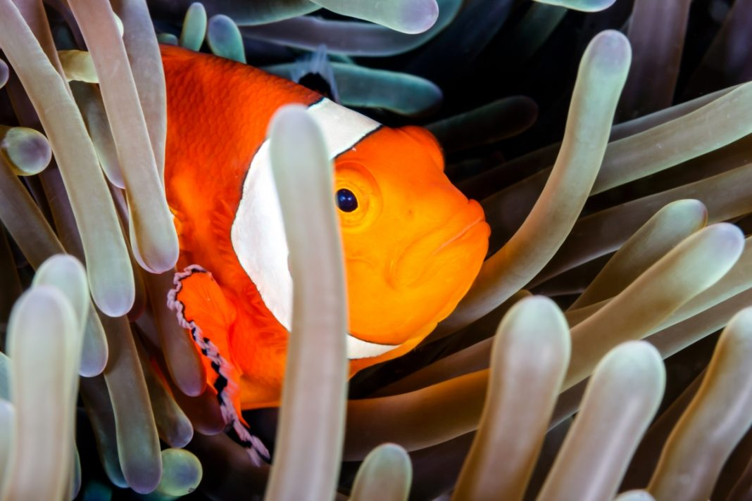 Ikan badut bersembunyi di balik terumbu karang. (© Richard Whitcombe/Shutterstock)