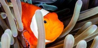 دلقک ماهی در صخره مرجانی (ریچار وایت کامب / شاتراستاک)
