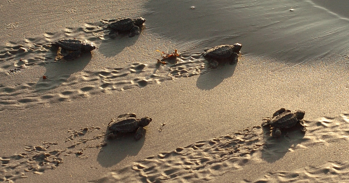 Baby turtles crawling in sand (© AP Images)