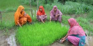 زنان در حال کشت نشاء برنج هستند. (عکس اهدایی شبکه بین المللی سیستم افزایش تولید برنج)