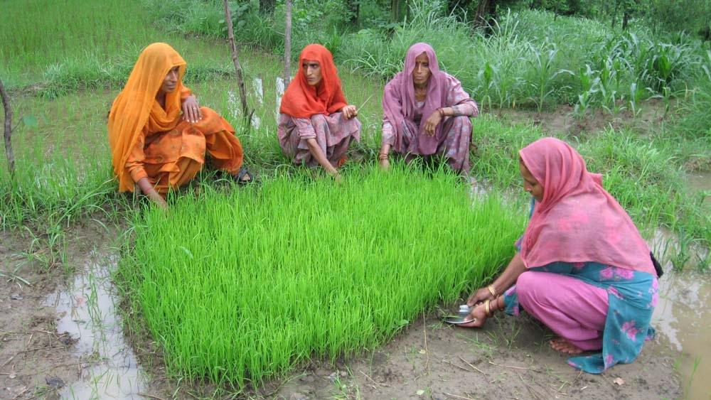 Mujeres colocando plántulas de arroz (Foto cedida por SRI International Network)