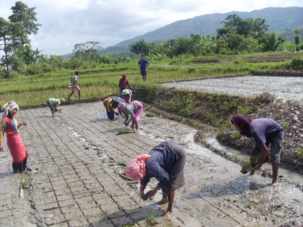 Des femmes plantent des semis dans un petit champ, en se guidant sur un quadrillage dessiné au sol. (SRI International Network)