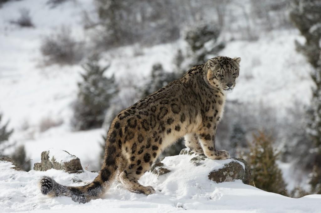 Une panthère des neiges dans une forêt en hiver (Dennis W. Donohue/Shutterstock)