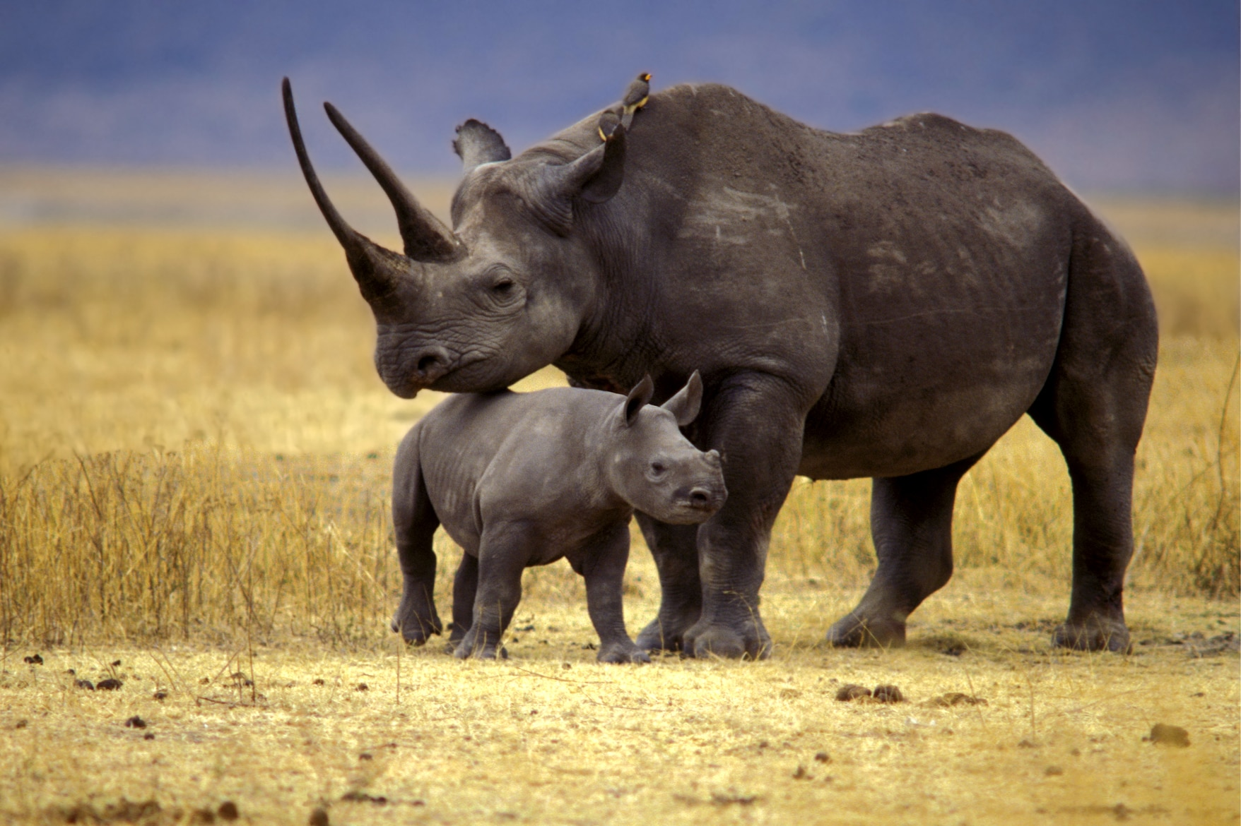 Resultado de imagem para rinocerontes