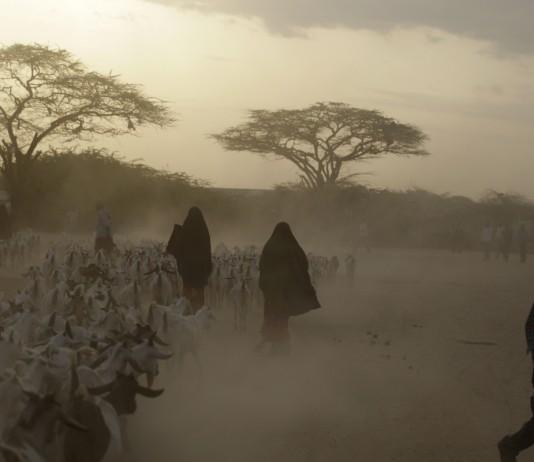 افراد در محیطی خشک از یک گله بز نگهداری می کنند. (عکس از آسوشیتدپرس)