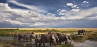 فیل ها از رودخانه عبور می کنند. (عکس از شاتراستاک)