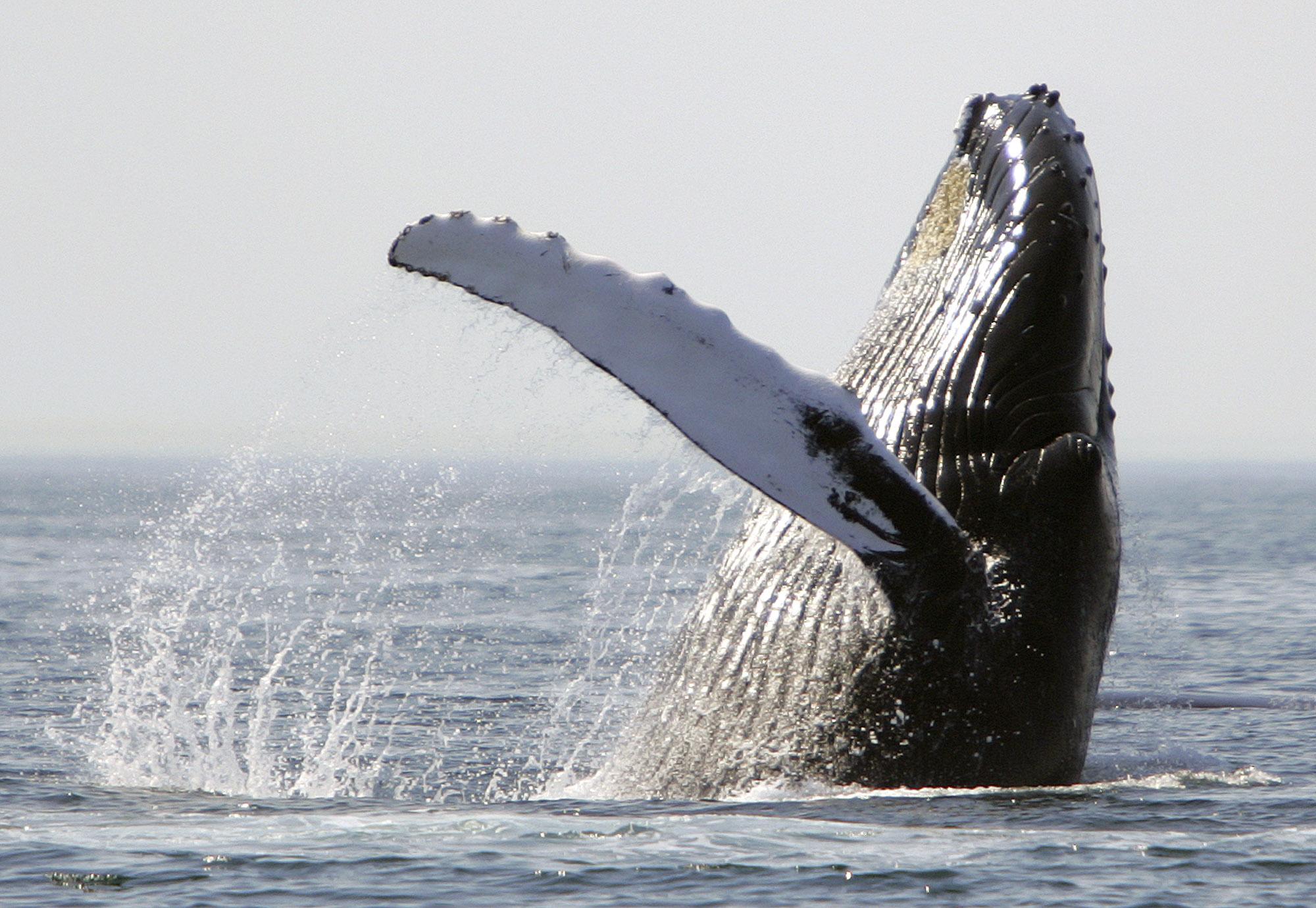Горбатый кит (© AP Images)