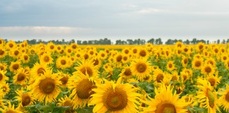 Campo de girasoles (Shutterstock)