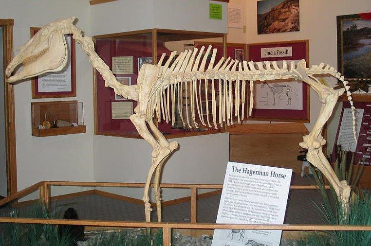 Squelette fossilisé d'un cheval (NPS photo/Wikimedia Commons)