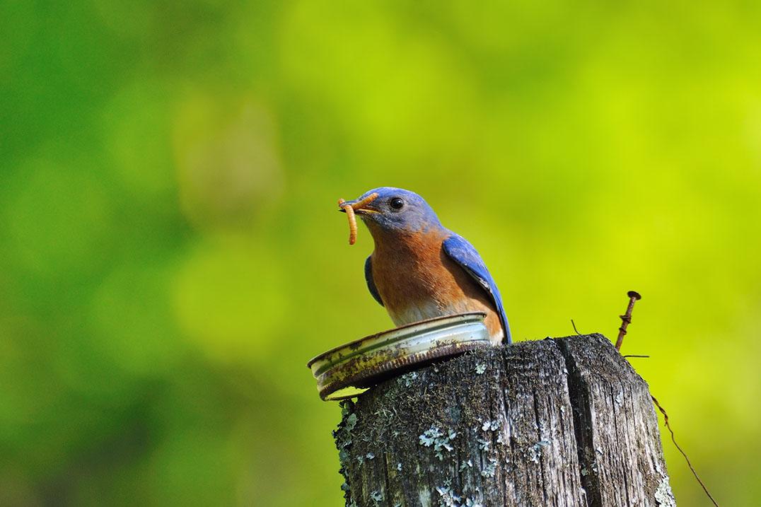 Pájaro sobre un poste sosteniendo un gusano en la boca (Shutterstock)