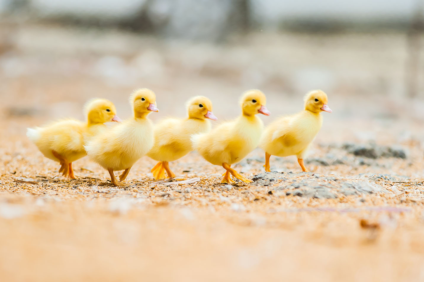 Patitos en fila (Shutterstock)