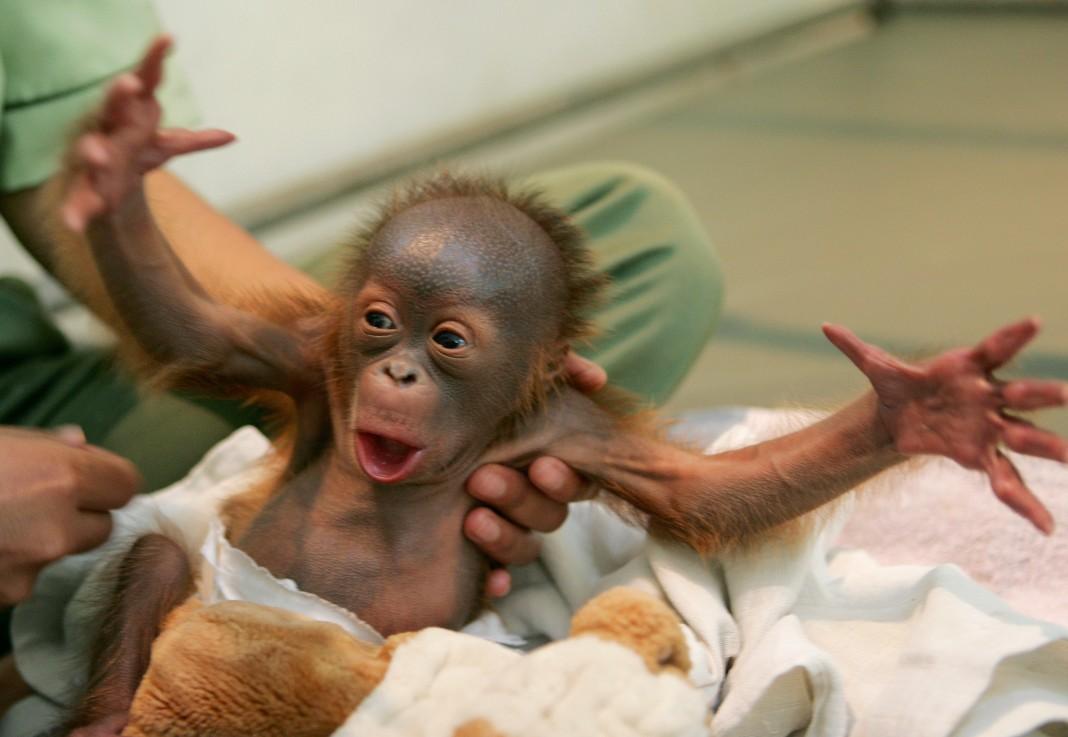 Детеныш орангутанга (AP Photo/Dita Alangkara)