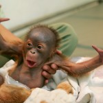 Baby orangutan wrapped in blanket, with arms outstretched (© AP Images)