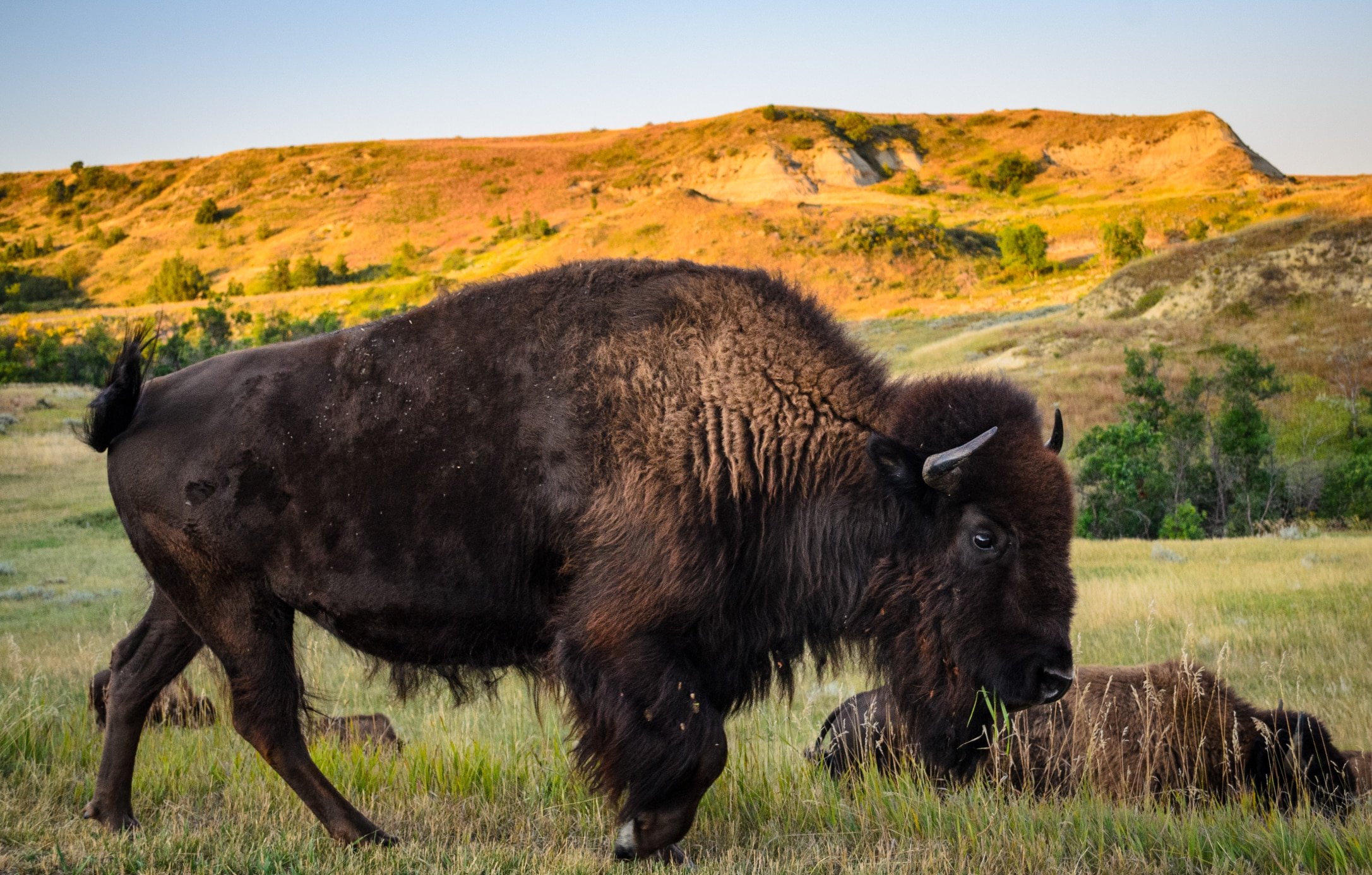Buffalo on prairie (Thinkstock)