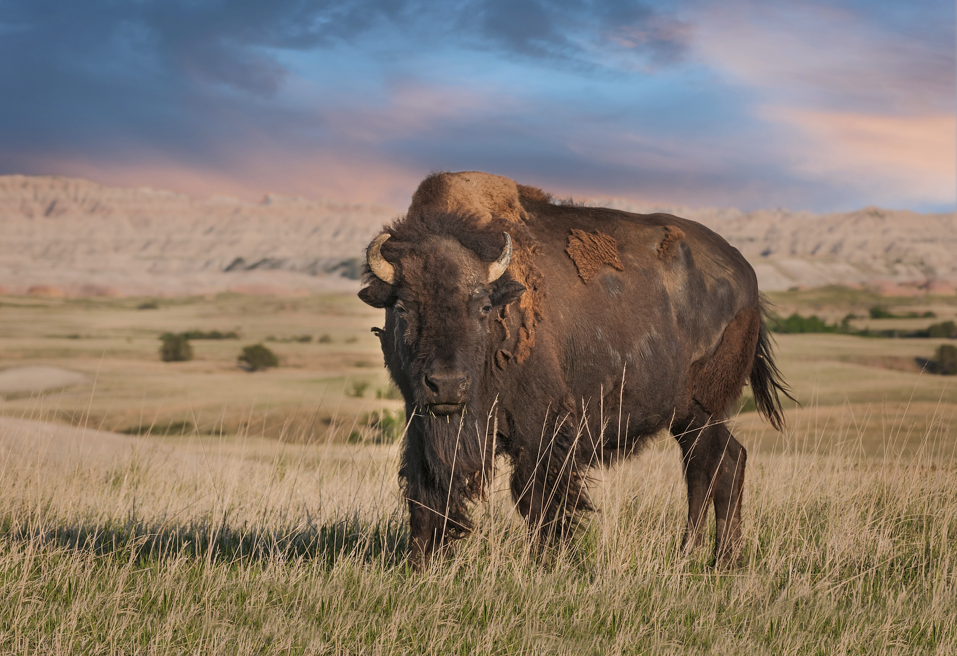 Buffalo bull standing amid prairie grasses (Thinkstock)